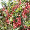 épine vinette, un arbuste riche en berbérine